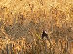 A sparrow peeks through the wheat field