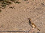 Tawny pipit at the road thet hugs the Beach