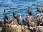 Shags (Phalacrocorax aristotelis) at the rocks near cape Shabla