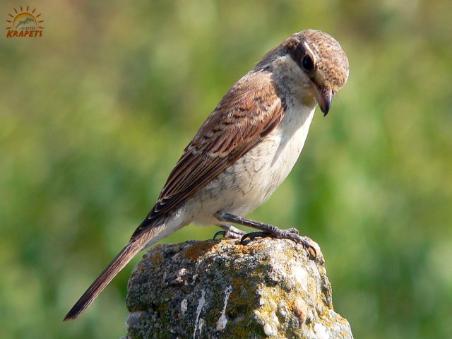 Curious female shrike