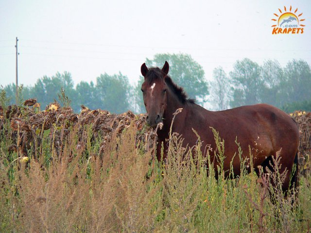 Horse in the sunflowers field