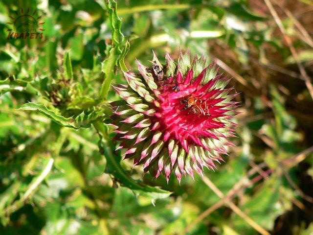 Nice red thistle