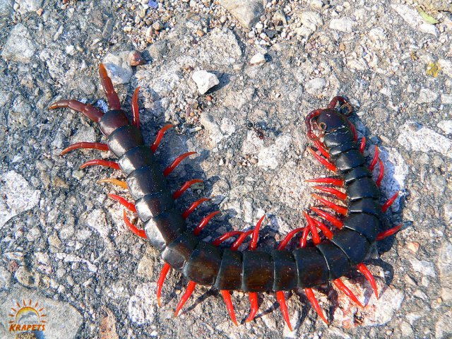 Red foot centipede